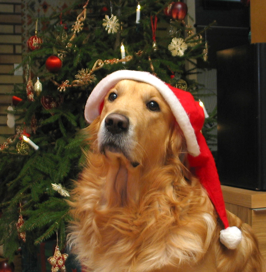 Christmas Hats For Dogs.Dog Wearing Santa Hat By Samikki K9 Korral Srq